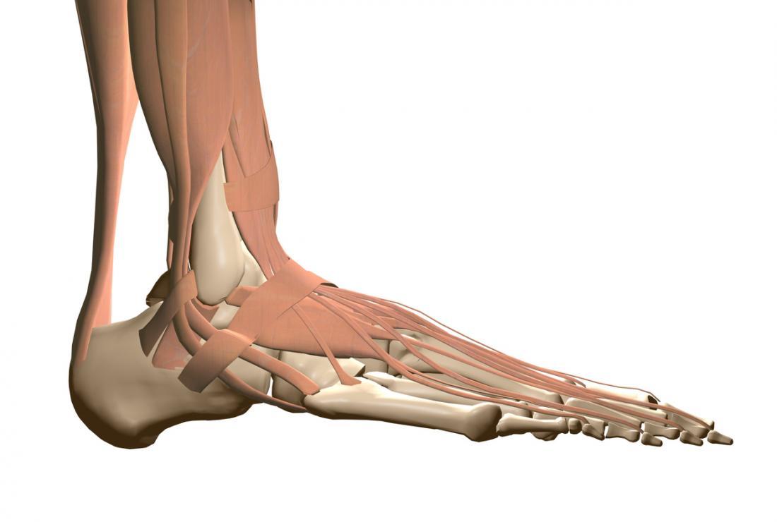 Fußanatomie, die Muskeln zeigt.