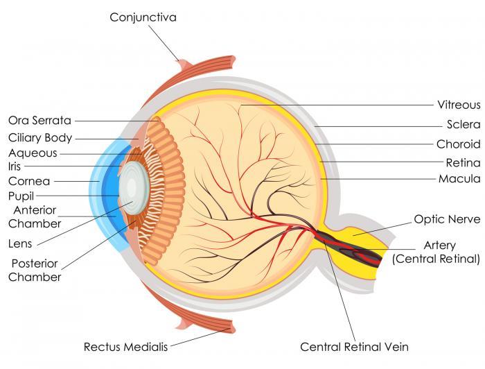 Ein Diagramm des Auges.