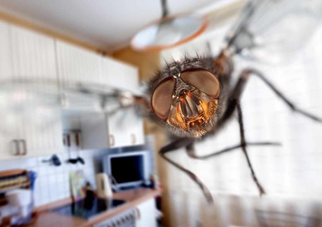 ruồi nhà bếp