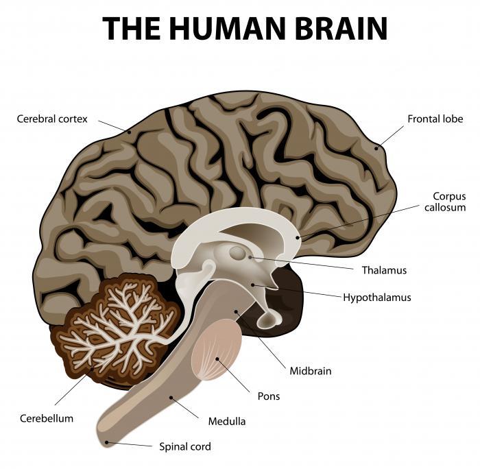 [khu vực của bộ não con người]