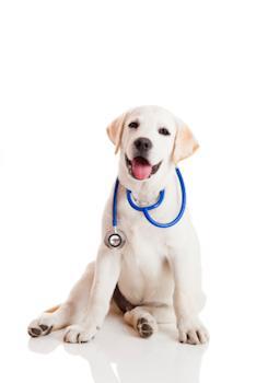 Cão sentado com um estetoscópio