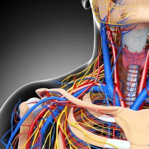 Động mạch và tĩnh mạch ở cổ.