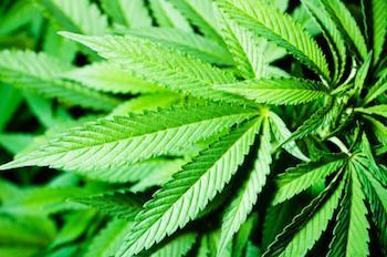 una foglia di marijuana