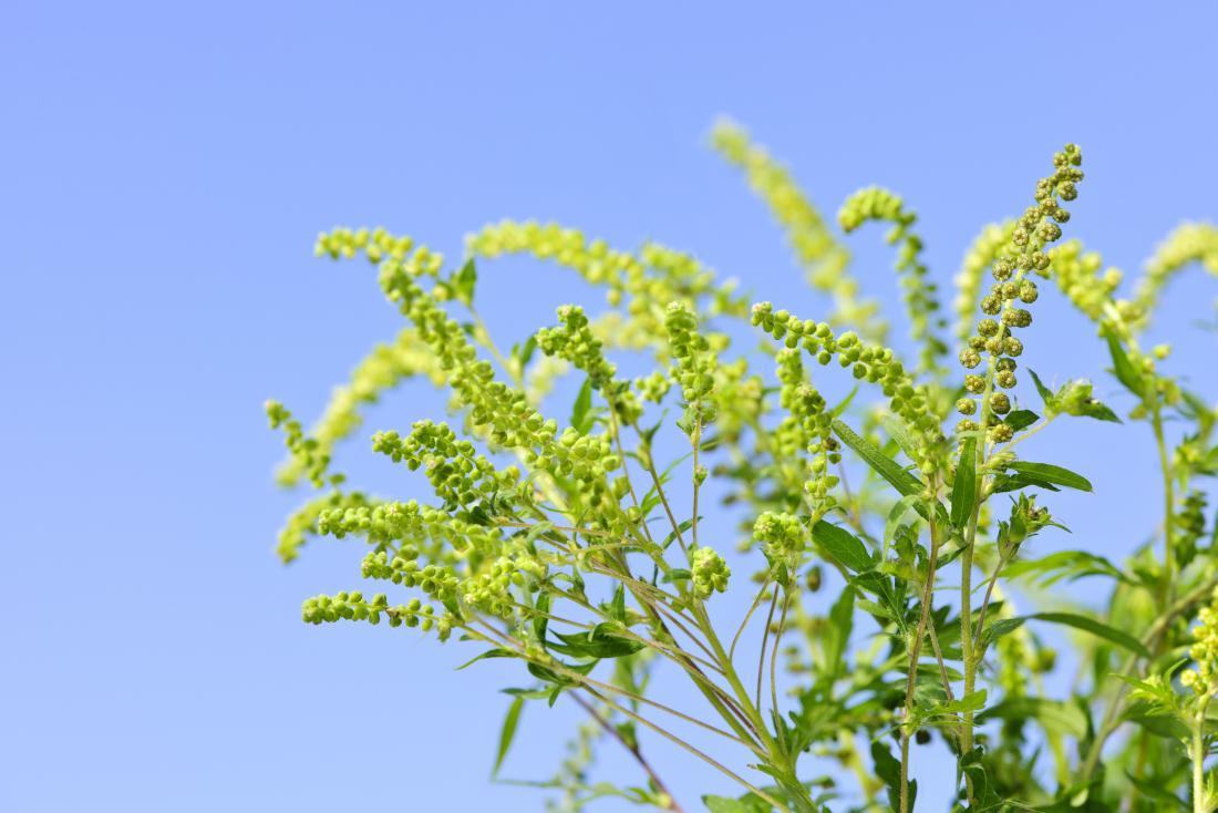 Ragweed-Pflanze, die Allergie gegen blauen Himmel verursacht.