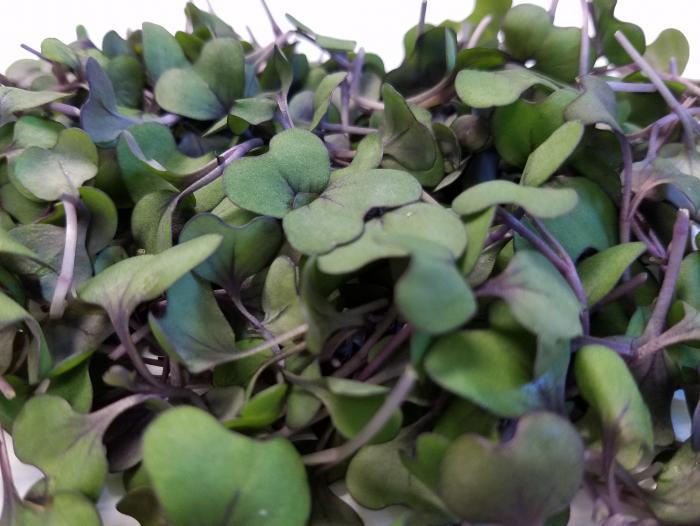 [Microgreens bắp cải đỏ