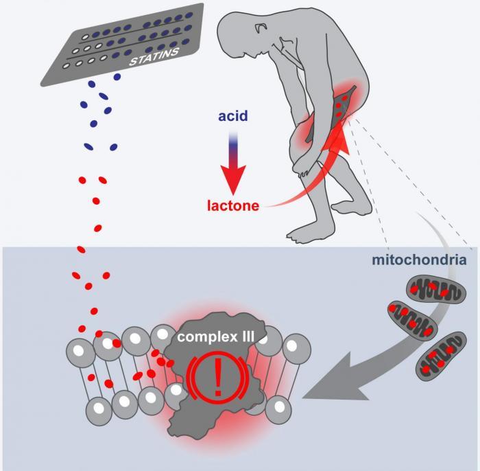 effet de statine sur les mitochondries
