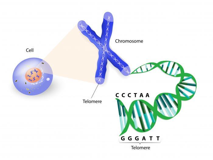 [La struttura di un telomero]