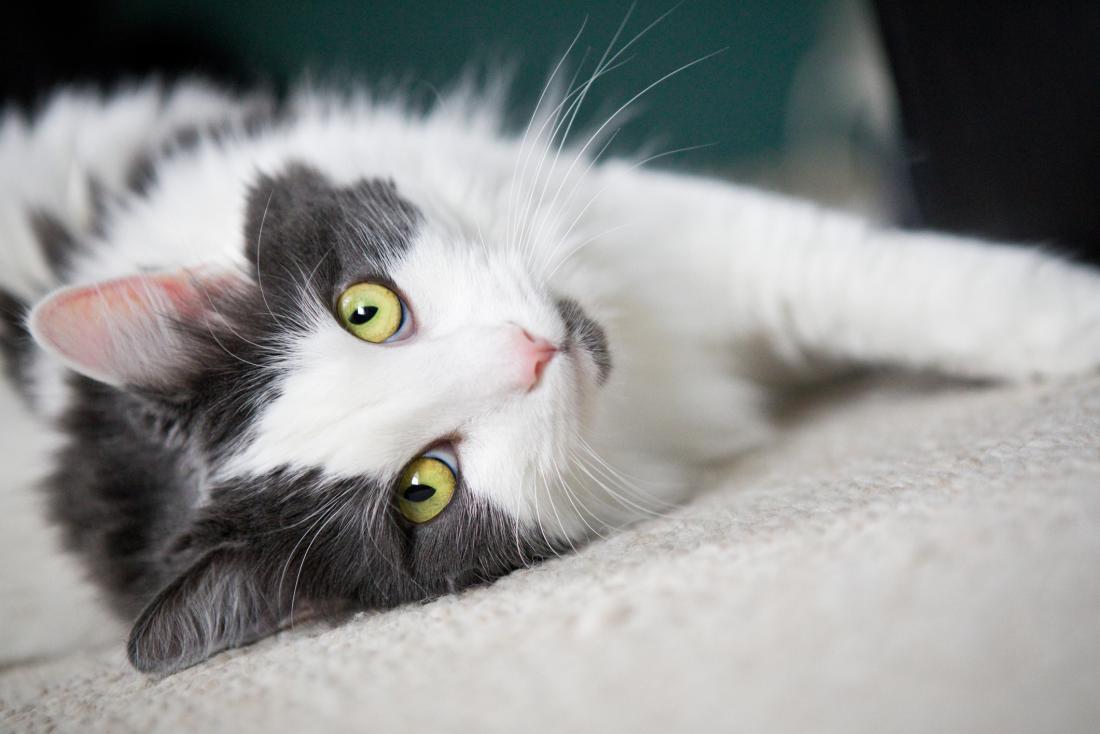 黄色い緑の目を持つ灰色と白の猫