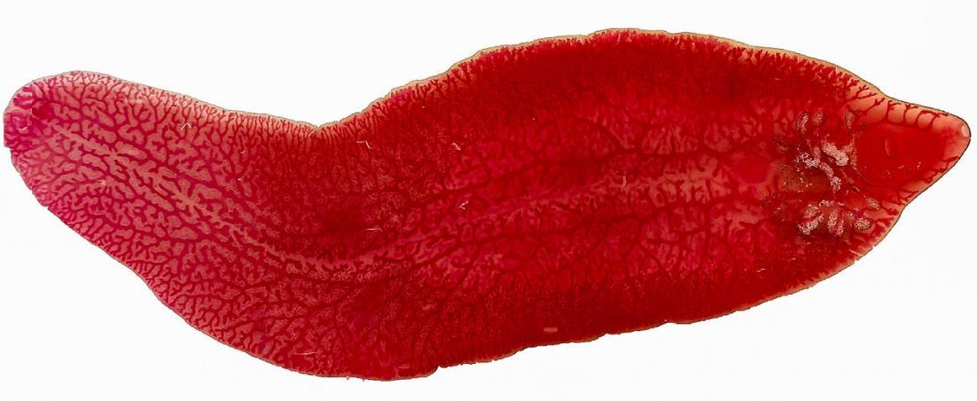 Karaciğer fluke - Resim kredisi: Veronidae, 2013 </ br>&#8220;></p> <p align=
